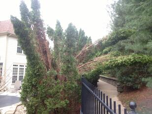 Winter_Damage_Trees_Shrubs_arborvitaes