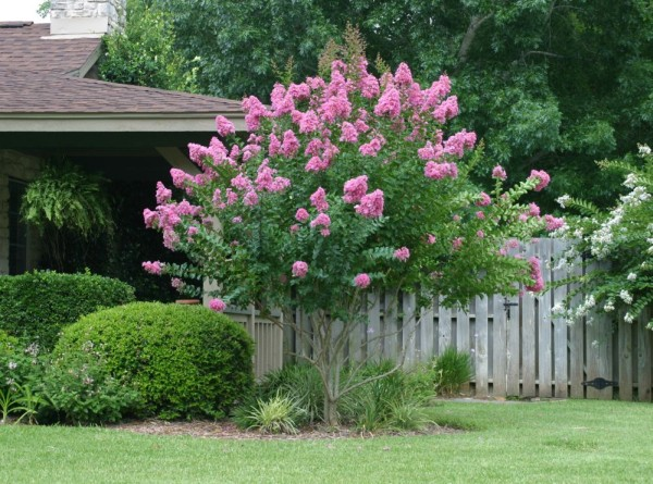 Crapemyrtle better than roses