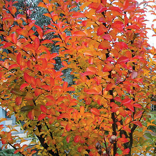 Crapemyrtle fall better than roses