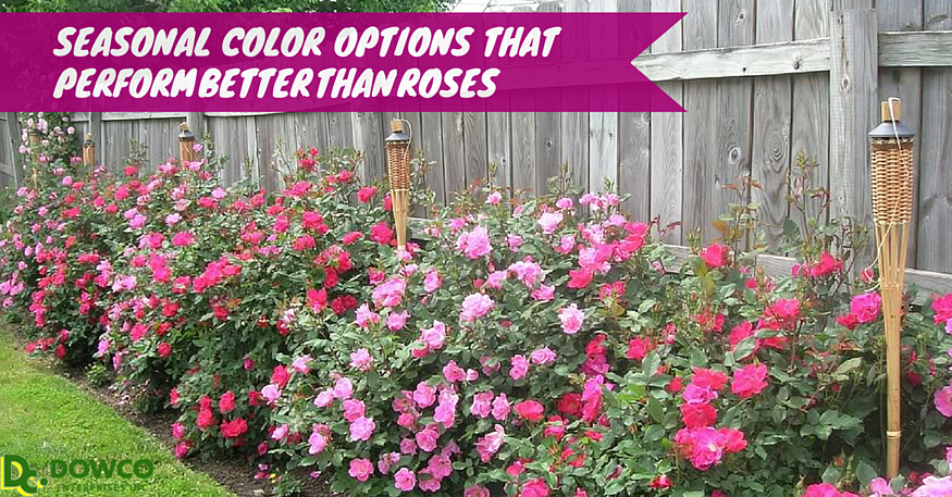 Seasonal color that performs better than roses
