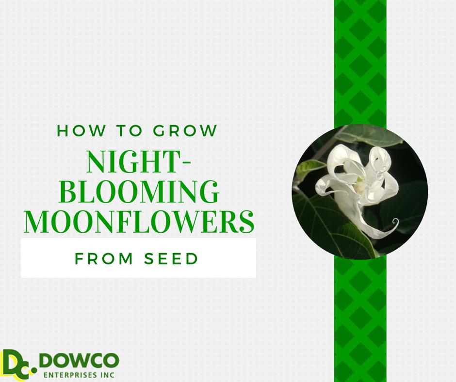 Howtogrownightbloomingmoonflowersfromseed
