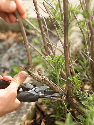Winter_shrub_pruning_in_St._Louis_MO_Tips1.png