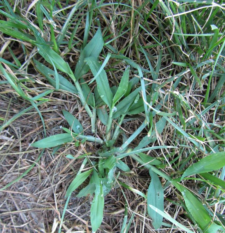 Crabgrass and fungus