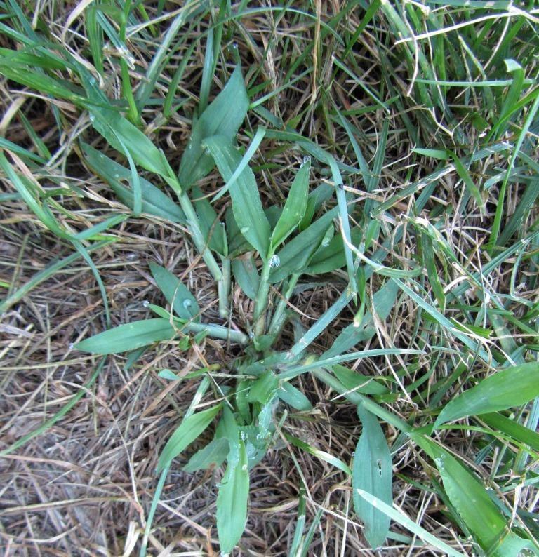 Crabgrass and fungus