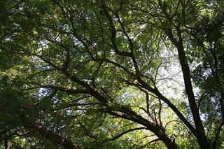 Selecting_a_Shade_Tree_for_Your_St._Louis_Landscaping_Oak_Tree.jpg