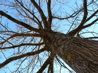 Selecting_a_Shade_Tree_for_Your_St._Louis_Landscaping_Trunk.jpg