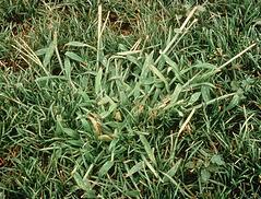 crabgrass_st_louis_weed_control