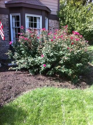 rose_reduction_pruning_st_Louis.jpg