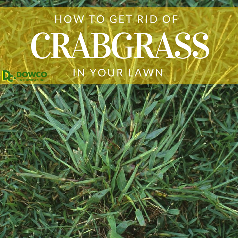 How_to_get_rid_of_crabgrass_in_your_lawn